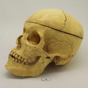 04 Cráneo