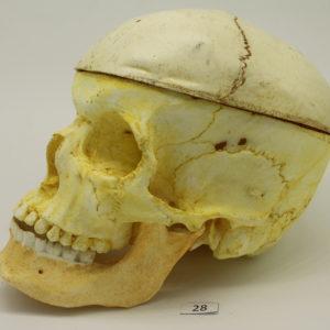 28 Cráneo