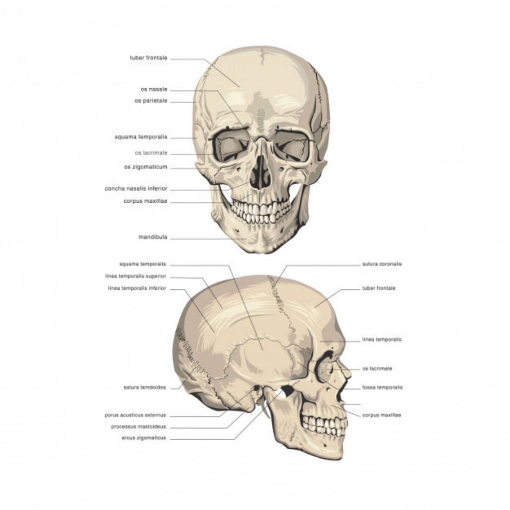 , Conoce sobre los 8 huesos del cráneo