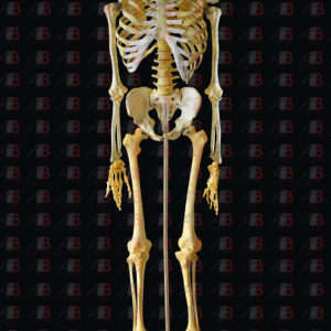 Esqueleto articulado sobre base